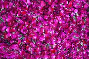 Rose petals for religious ceremonies at Mehrauli Flower Market, New Delhi, India