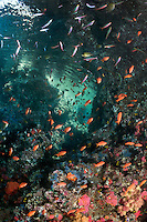 Anthias and Fusiliers feed in the current in a limestone islet's coral encrusted overhang<br /> <br /> Shot in Raja Ampat Marine Protected Area West Papua Province, Indonesia