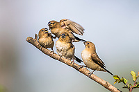 African Silverbill with begging chicks, Zakouma National Park, Chad