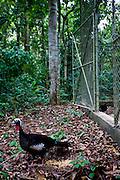 Ipaba_MG, Brasil...Projeto de reintroducao de Jacutingas (Pipile Jacutinga) na RPPN (Reserva Particular do Patrimonio Natural) Fazenda Macedonia...The project to return a Jacutingas (Pipile Jacutinga) in RPPN (Private Reserve of Natural Heritage) Macedonia Farm...Foto: JOAO MARCOS ROSA / NITRO