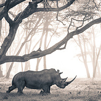 A Southern White Rhino moved through mist-shrouded fever tree forest