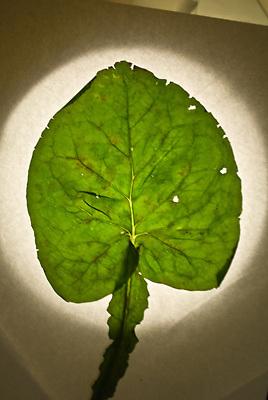 Tokyo, pissenlit geant dont les feuilles ont mute probablement dus  a la catastrophe de Fukushima, le cesium137 cause des mutations genetiques en cassant le genome et le sequencage ADN, Tokyo  mutated dandelion due to leaks of radioactivity from Fukushima nuclear plant, Cesium 137 break  DNA