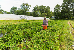A man harvests eggplant at Barker's Farm in Stratham, New Hampshire.
