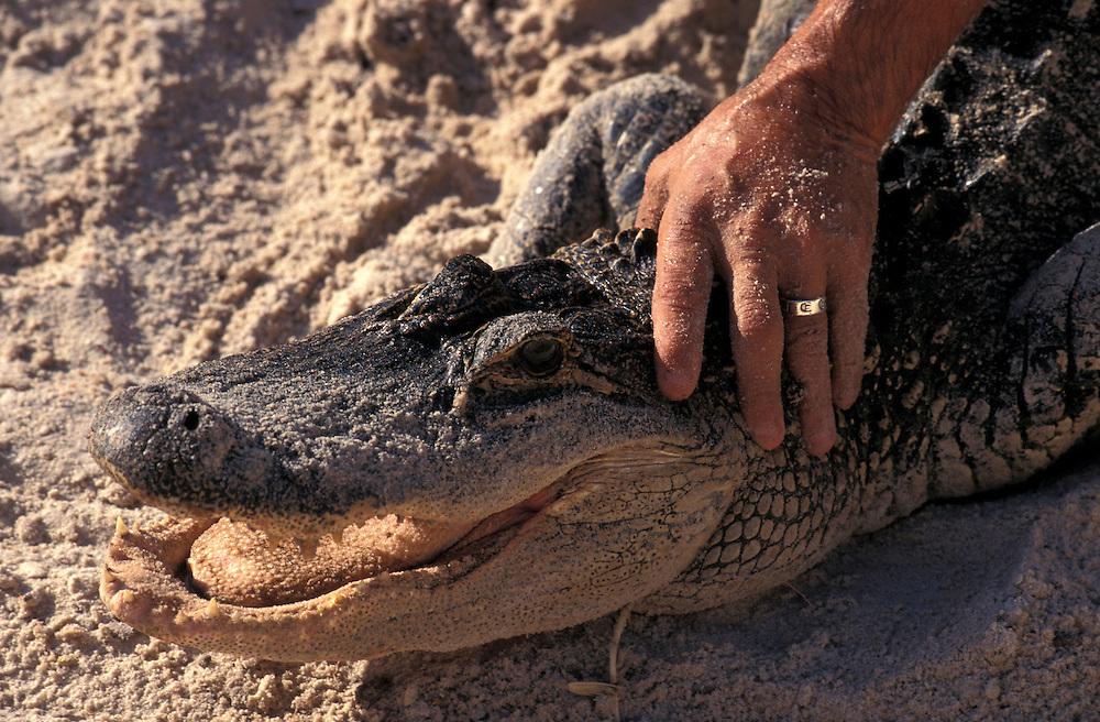 Alligator Wrestler,  Big Cypress Seminole Indian Reservation, Florida, USA