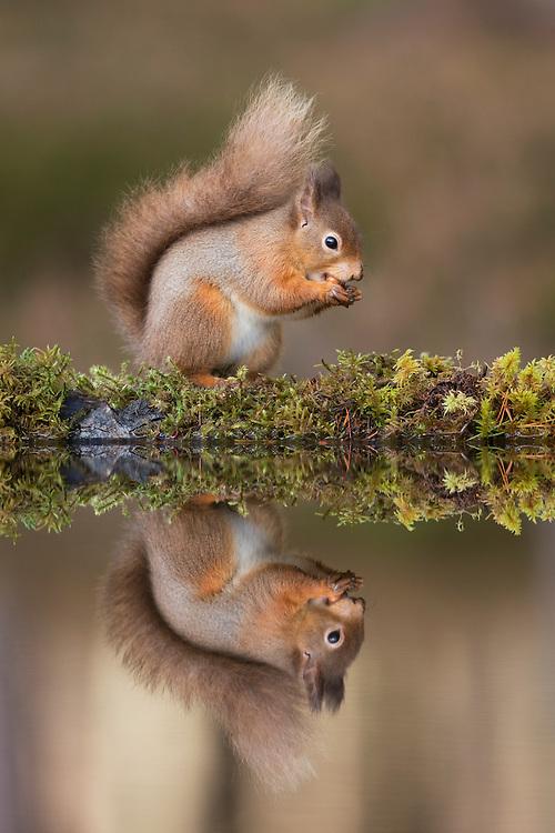 Red squirrel (Sciurus vulgaris) reflected in woodland pool, Scotland.