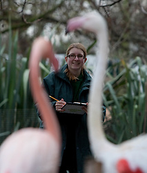 ©London News Picures.04/01/2011. Zoo keeper with Greater flamings before making a record of their numbers at London Zoo as part of the zoo's annual stocktake on January 4, 2011 in London, England. ZSL London Zoo is home to over 650 different species which all need to be cataloged in their annual stocktake which is a compulsory requirement for their zoo license..LondonPhoto credit should read Fuat Akyuz/London News Pictures.