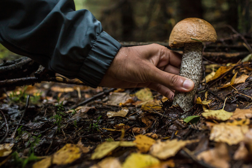 Akhil Sharma picks an aspen mushroom found in the forest on Saturday, August 24, 2013 in Suzdal, Russia.