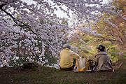 An old couple sits quietly in the shadow of of a cherry tree, appreciating the blossoms.