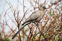Grey go-away bird, Pilanesberg National Park, North West, South Africa