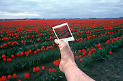 Footograph: Photograph of my right foot in the vast colorful red tulip fields of the Skagit Valley ne La Conner, Washington USA clutching a Polaroid photograph of the tulip fields between its toes.