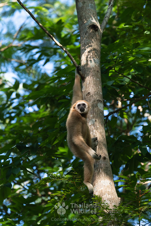 The lar gibbon (Hylobates lar), also known as the white-handed gibbon, is an endangered primate in the gibbon family, Hylobatidae.