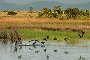 White-faced Whistling Duck (Dendrocygna viduata)<br /> Karanambu Lodge<br /> Rupununi<br /> GUYANA<br /> South America