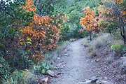 Autumn leaves, Big Bend National Park, Texas, on Lost Mine Trail