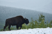Wood bison (Bison bison athabascae) in early snowfall in the Northern Rocky Mountains<br />Liard River Hot Springs Provincial Park<br />British Columbia<br />Canada