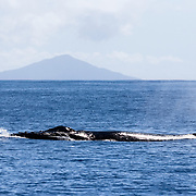 Humpback whale (Megaptera novaeangliae australis) surfacing for air on a very clear day, with uninhabitated volcanic Late (prononced lah-teh, like the coffee) Island visible in the background. The island rises 1500 m from the sea floor, with its conical summit reaching 540m above sea level. This whale was part of an active heat run that started with three whales, increasing to six by the time we left the competitive group.