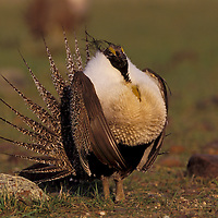 Sage grouse on lek near Malta, Montana.