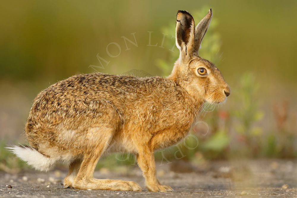 European Hare (Lepus europaeus) adult at rest on farm track, South Norfolk, UK. June.
