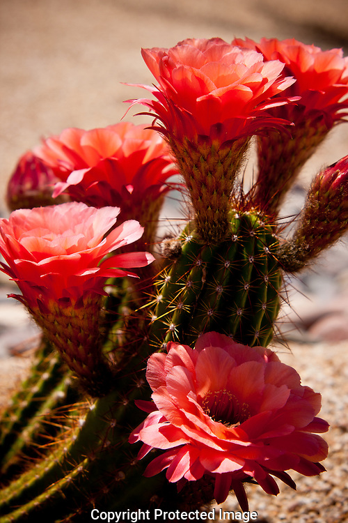 Colorful pink & peach colored blooms adorn Argentine Giant Cactus