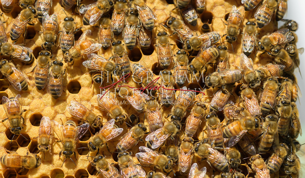 Bees in their hive at the CCBA yard in Emeryville, PA on Sunday 9 June 2017. Photograph by Jim Graham