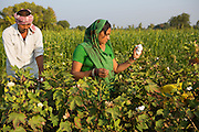 Vishram and his wife, Vasanben, harvesting cotton on their farm, where they have recently installed a new drip irrigation system.<br /> <br /> Not only have they noticed a real improvement in their cotton plants but they are also saving a lot of water and time. This is allowing them to do other activities on the farm such as grow vegetables and Vishram has even started contracting as a tracter driver on other farms to diversify and earn extra income.