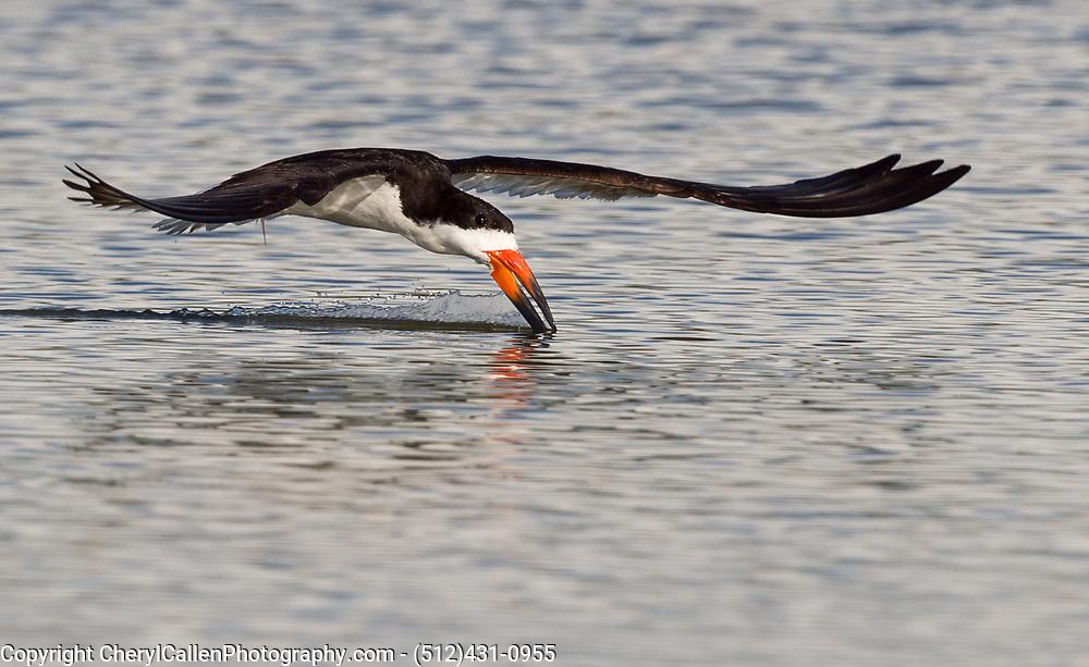 Black Skimmer skimming the pond