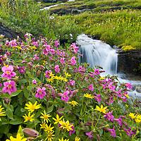 wild flowers glacier park, logan pass, clements mountain summer, monkey flowers