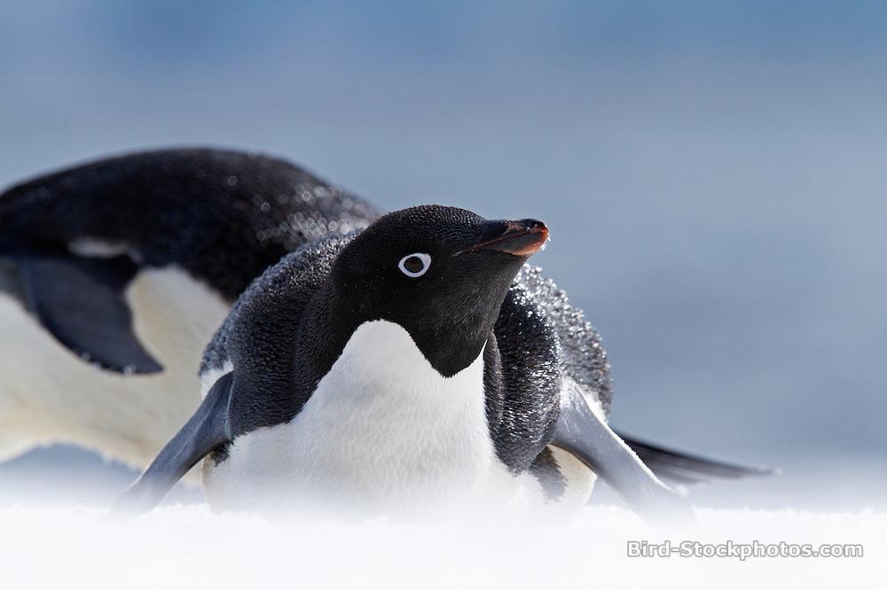 Adelie Penguin, Pygoscelis adeliae, Antarctica, by Marius Coetzee