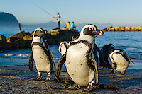 African Penguins preening on the edge of  a slipway at the end of the day, Bettys Bay Marine Protected Area, Western Cape, South Africa