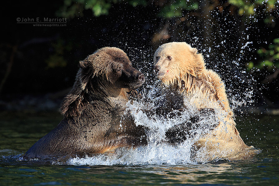 Grizzly bear sow and cub, British Columbia, Canada