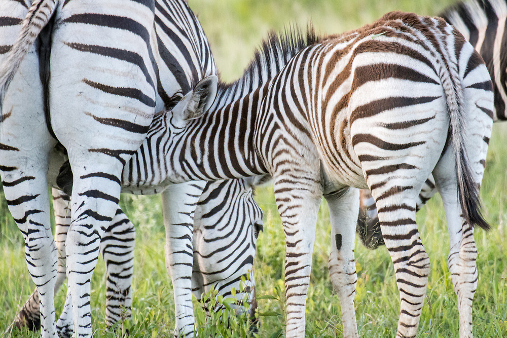 A young zebra calf nurses from its mother in Hwange National Park. Hwange, Zimbabwe.