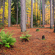 &quot;Pine Forest in Autumn&quot;<br />