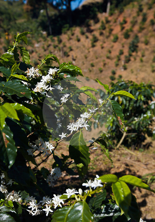 Coffee plants grow along the mountains in  Puerto Rico