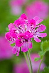 Pelargonium 'Pink Capitatum' (syn. Pink capricorn)