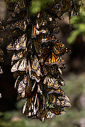 Monarch Butterflies hang from a branch as they mass packed in tightly for warmth in the forests of the El Capulin Monarch Butterfly Biosphere Reserve in Macheros, Mexico. Each year millions of Monarch butterflies mass migrate from the U.S. and Canada to the Oyamel fir forests in central Mexico.
