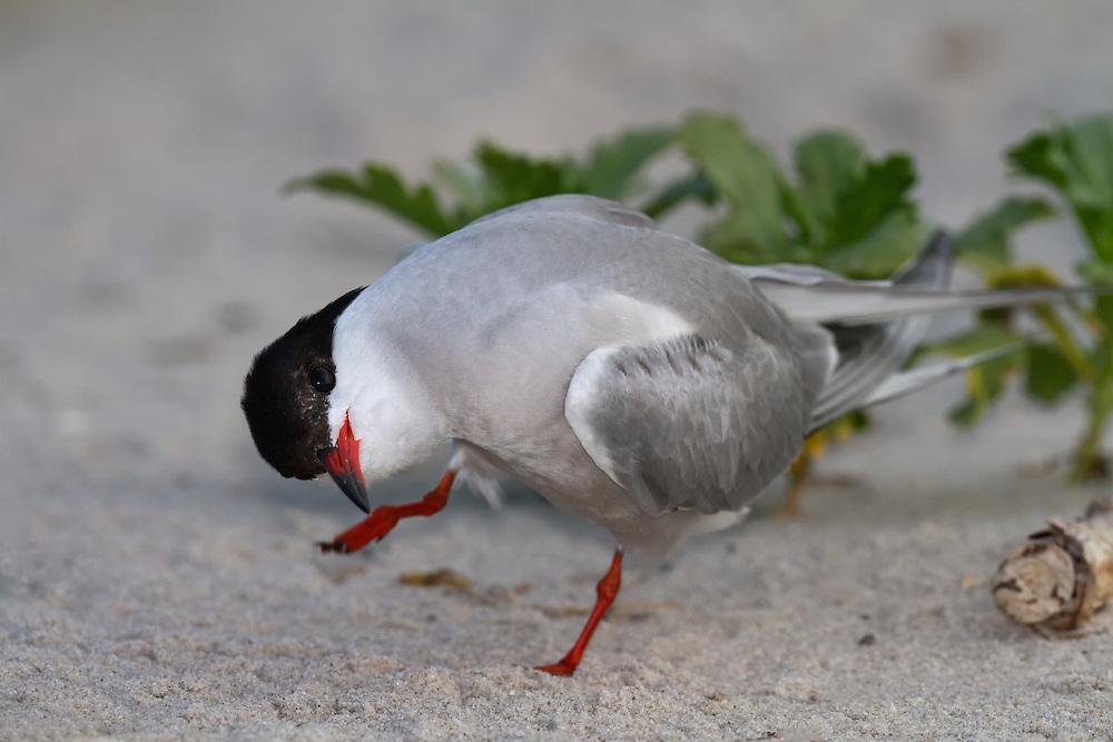Common Tern (Sterna hirundo) scratching, Nickerson Beach, Lido Beach, Long Island, Nassau County, New York