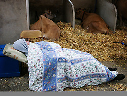 © Licensed to London News Pictures.16/07/15<br /> Harrogate, UK. <br /> <br /> A man sleep with his cattle after spending the night sleeping in the cow sheds on the final day of the Great Yorkshire Show.  <br /> <br /> England's premier agricultural show has seen three days of showcasing the best in British farming and celebrating the countryside.<br /> <br /> The event which attracts over 130,000 visitors each year displays the cream of the country's livestock and offers numerous displays and events giving the chance for visitors to see many different countryside activities.<br /> <br /> Photo credit : Ian Forsyth/LNP
