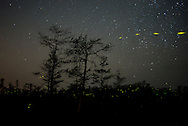 Fireflies surround the bald cypress trees near Gator Hook Strand in the Florida Everglades