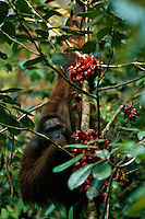A young male orangutan (Pongo pygmaeus) feeds on the glossy red fruit of a Baccaurea tree.