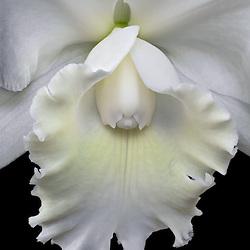 ORCHIDS - White Cattleya