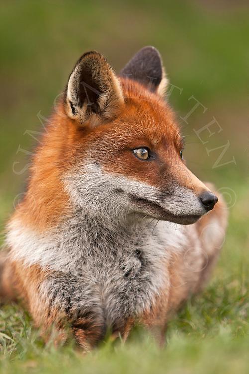 European red fox (Vulpes vulpes) captive bred adult, UK.
