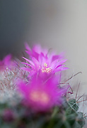 Flowering Bristle brush cactus (Mammillaria spinosissima) AKA  spiny pincushion cactus native to central Mexico