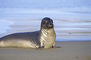Northern Elephant Seal <br /> Mirounga angustirostris<br /> Female arriving on shore for breeding season<br /> Piedras Blancas, California