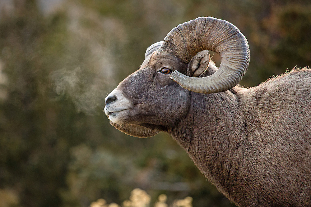 "The curled horns of adult bighorn rams can weigh between 30 and 40 pounds.  The pointed tips of the horns often become ""broomed"" as the tips break off during repeated clashes with other rams."