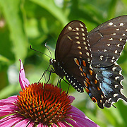 Spicebush Swallowtail belongs to the Papilio troilus family.