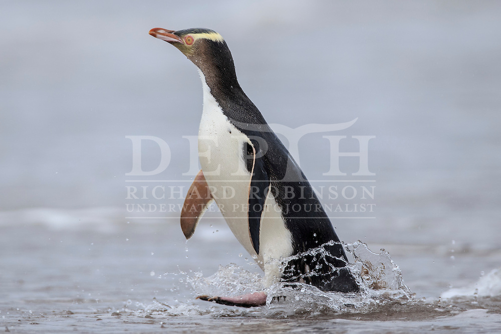 Megadyptes antipodes (Yellow eyed penguin) returns from foraging at sea at Sandy Bay, Enderby Island, Auckland Islands, New Zealand.<br /> 08 January 2016<br /> Photograph Richard Robinson &copy; 2016