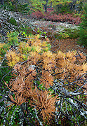 The glorious fall colors of pitch pine (pinus rigida), huckleberry bushes, together with lichen, truly make this hiking location a wonderland. Acadia National Park, Maine, USA.