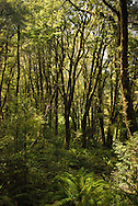 Young beech and kamahi trees populate a forest clearing among ferns in the Clinton Canyon, Milford Track, Fiordland, New Zealand