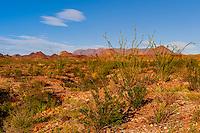 Ocotillos (desert plants), Chihuahuan Desert, Big Bend National Park, Texas USA.