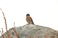 A male American kestrel sits on a rock overlooking a hillside on a cloudy day resting.