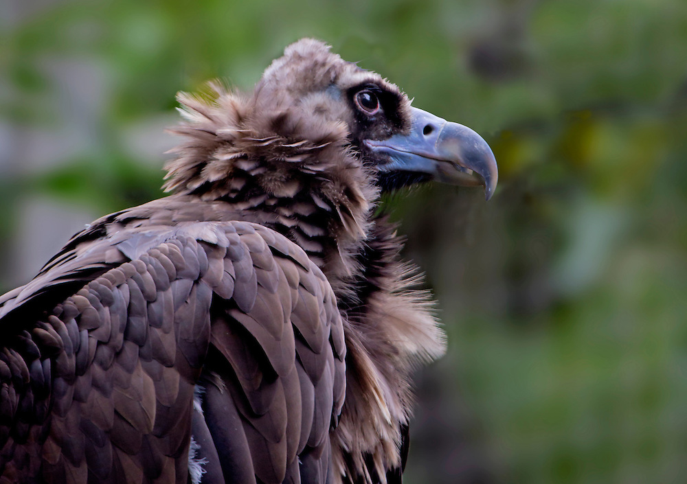 A gigantic African vulture.